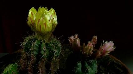 Fioritura di cactus