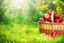 Biologische appels in de mand. Boomgaard. Tuin