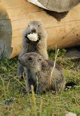 Marmotons eating