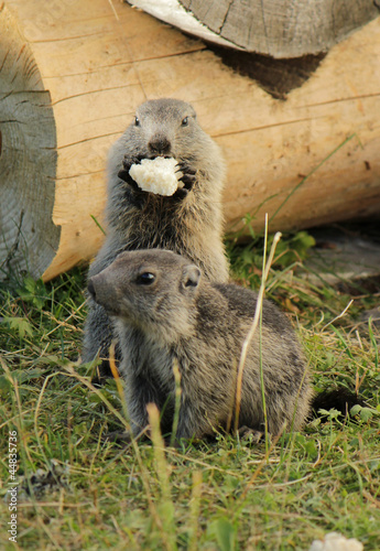 Marmotons eating