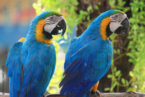 Macaws (blue and yellow macaw)