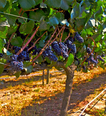 Carmenere grapes