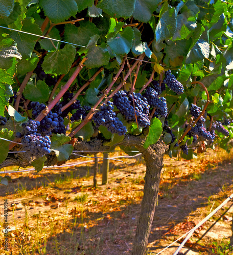 Foto op Plexiglas Wijngaard Carmenere grapes