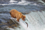 Fototapety Bear on Alaska
