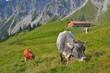 Kühe auf Hochalpe