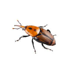 red palm weevil isolated on white background