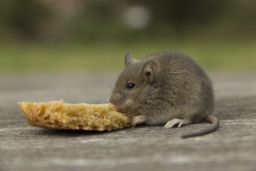 Small mouse with bread