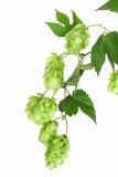 Hopfen, branch with hop