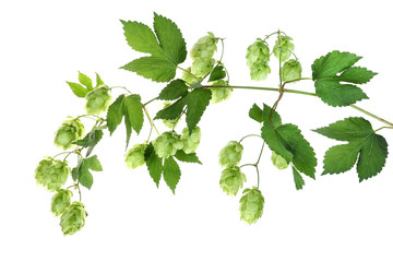 Branch with hop, Hopfen isoliert