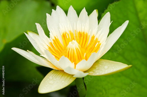 white lotus in pond