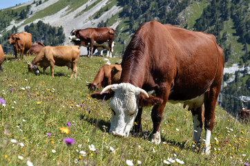 Abondance cow grazing in the French Alps