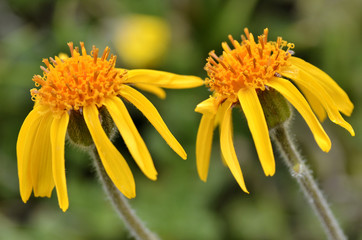 Closeup two mountain arnica flowers (Arnica montana)