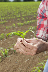 Close up of farmer holding corn seedling in field