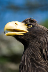 Eagle's head - Profile - Leflt side