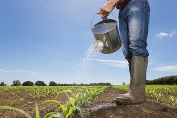 Farmer watering corn seedlings in field with watering can