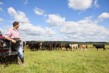 Farmer leaning on truck and watching cattle herd in rural field