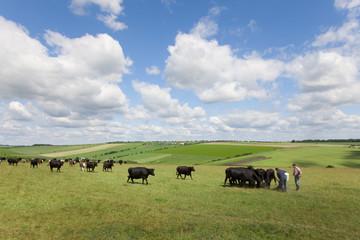 Farmers feeding cattle in rural field