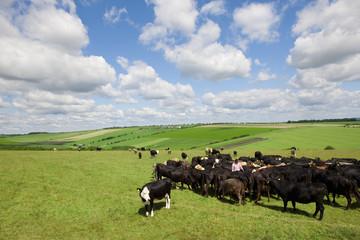 Farmer among cattle herd in sunny rural field