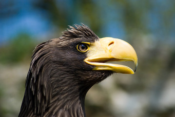 Eagle's head - Profile - Right side