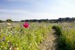 Path through sunny wildflower field
