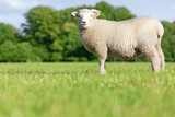 Sheep standing in field