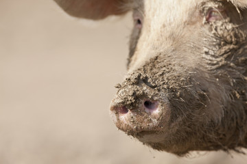 Close up of muddy pigճ snout