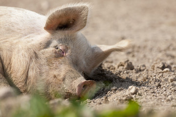 Tranquil pig sleeping in dirt