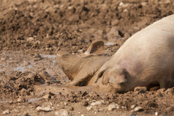 Pigs wallowing in mud