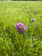 Purple clover blooming in grassy field