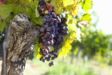 Bunches of purple grapes hanging on vine in vineyard