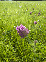 Purple clover blooming in grassy field