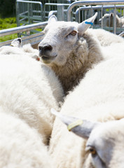 Sheep crowded into animal pen