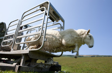 Sheep leaping out of animal pen into grass