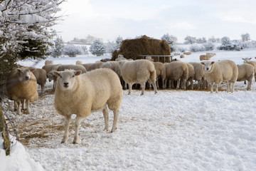 Sheep standing in snow covered animal pen