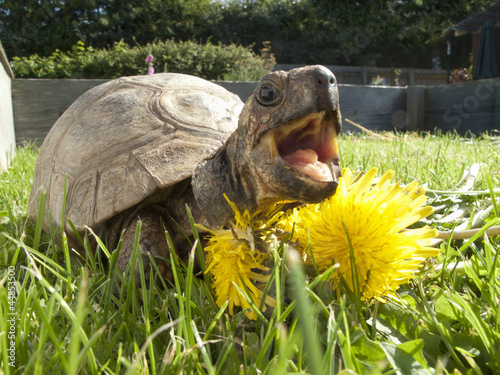 Turtle in grass eating dandelion