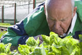 Senior man inspecting lettuce in greenhouse