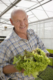 Portrait of smiling senior man holding lettuce in greenhouse