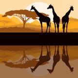 Giraffe family silhouettes in Africa wild nature mountain landsc