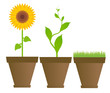 Sunflower, bean, grass in houseplant pots vector