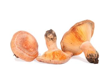 Forest mushroom. Lactarius deliciosus (Saffron milk cap)