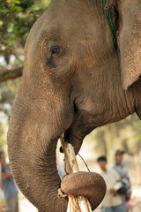 asian elephant feeding
