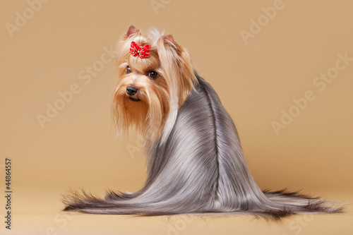 yorkie puppy on light brown background