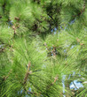 Green branches of a pine with needles and cones