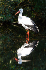 Stork in the water