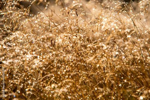 Keuken foto achterwand Paardebloemen en water Dew on Golden Grass