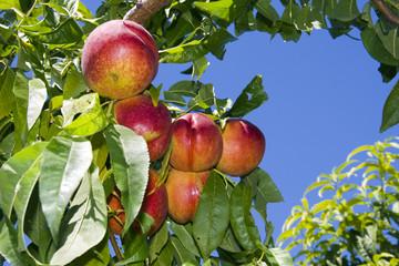 Nectarines (Prunus persica nectarin) before picking
