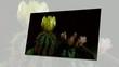 Fiori di cactus che sbocciano rapidamente