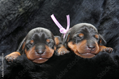 Miniature Pinscher puppies, 5 days old