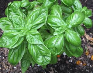 Fresh basil plant growing in summer garden