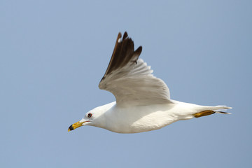 Ring Billed Gull in Flight Against a Blue Sky - Ontario, Canada